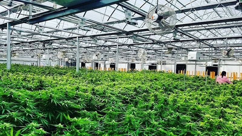 Village Farms International Announces that Pure Sunfarms' Facility is Now Licensed for Production