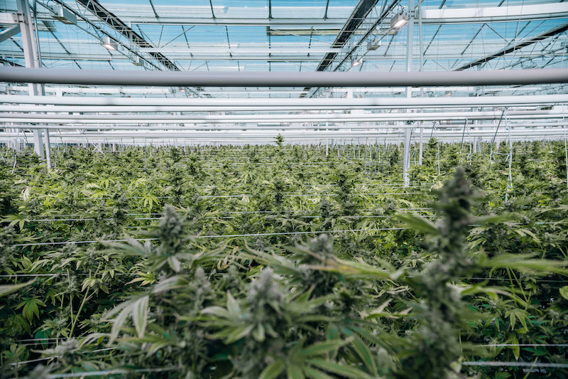 First Harvest Complete at Flower One's 455,000 Square-foot Cannabis Facility