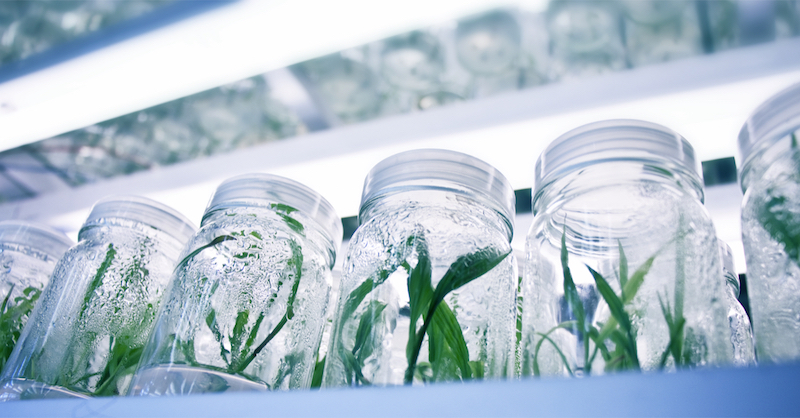 Sugarbud enters into Strategic Plant Genotyping and Tissue Culture Agreement with Segra
