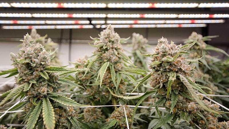 EnWave Announces Plans to License REV™ Technology into the U.S. Cannabis Market