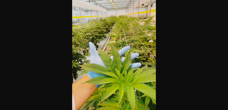 AgraFlora's Updates on Cultivation at Delta Greenhouse