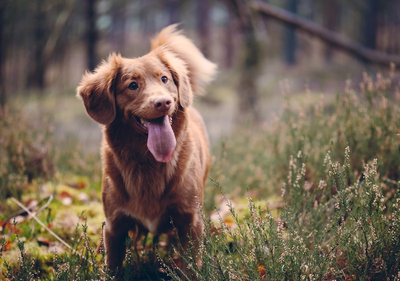 Liberty Leaf Announces Completion of CBD Research Study on Canine Pain Management